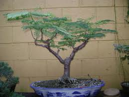 Image Result For Bonsai Tree For Sale West Palm Beach
